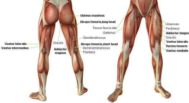 leg-muscles-front-back